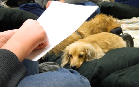 Lily is a long-haired pure-breed Dachshund that comes to Watertown High School as part of the Reading Dogs program, which helps students read aloud with confidence.