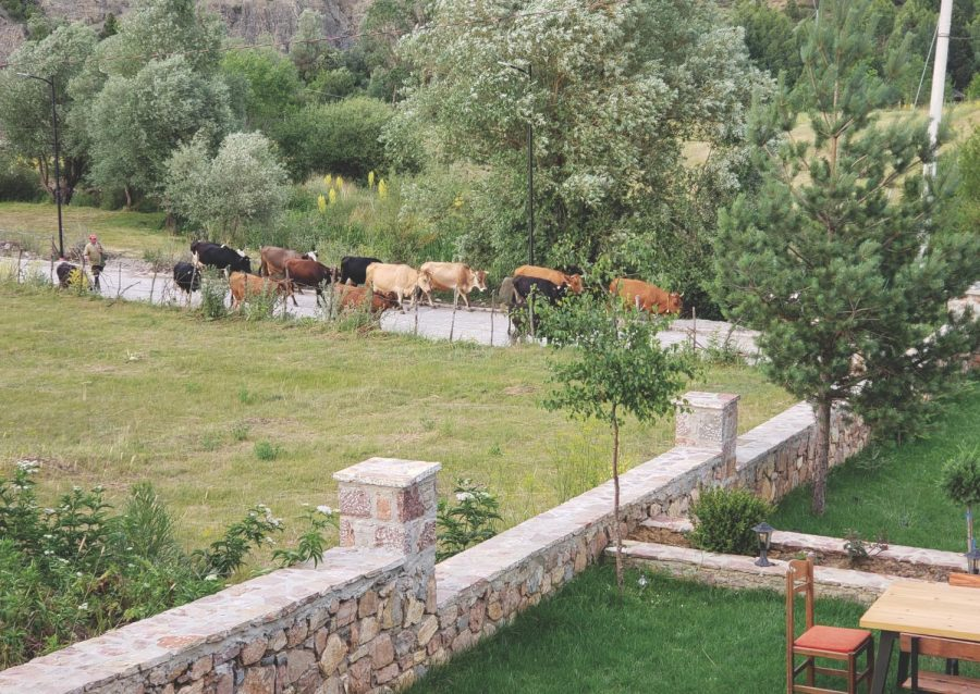 Cattle being led down a road in Voskopojë.