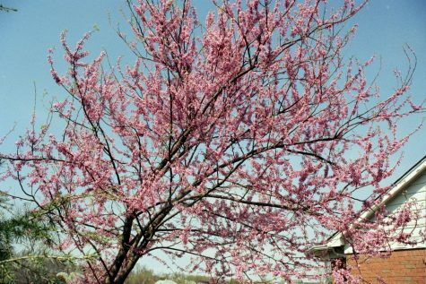 The Eastern redbud is one of the trees available through the Tree-Plenish event being run by Watertown High